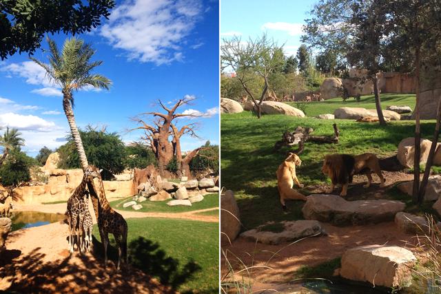 Bioparc Valencia: jirajas, leones.